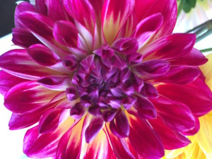 Nature's bounty...trails of summer coloring up the market in dahlia form.